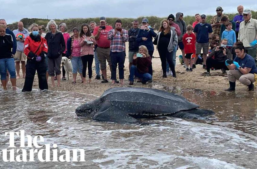 Giant leatherback sea turtle stranded on Cape Cod rescued by volunteers